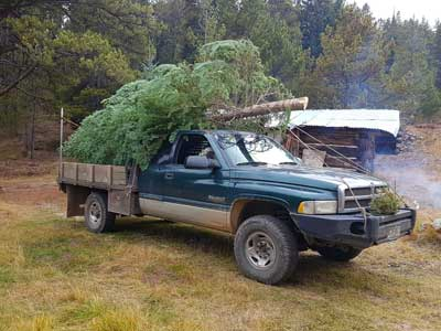 Colorado Native Christmas Trees